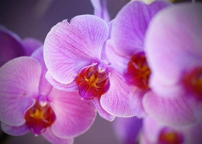 Télikert orchidea